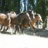 Our criollo horses