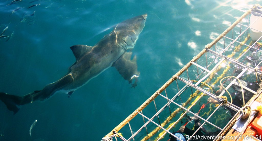 Great White infront of Divers | Image #3/8 | Shark Cage Diving in South Africa
