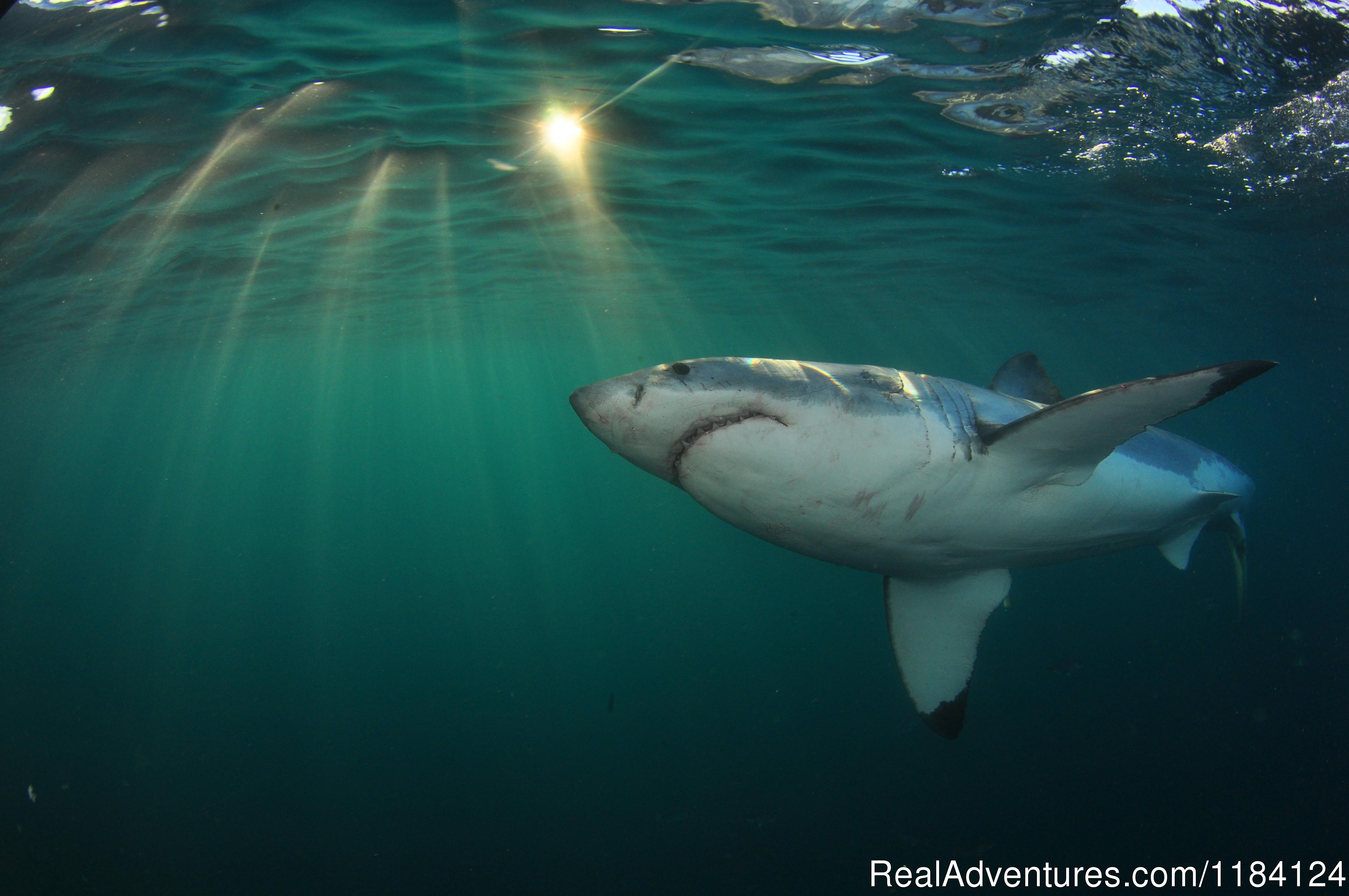 Amazing shot of the Great White Under Water