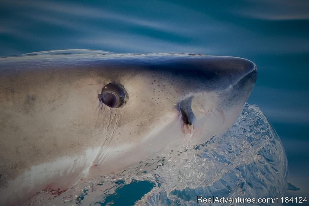 Great White Shark Close Up | Image #4/8 | Shark Cage Diving in South Africa