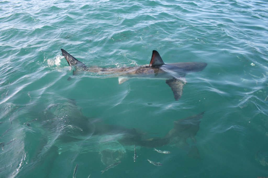 2 Sharks around the boat | Image #8/8 | Shark Cage Diving in South Africa