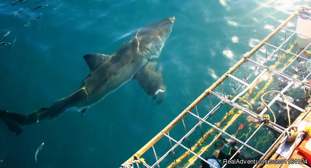 Great White infront of Divers - Shark Cage Diving in South Africa