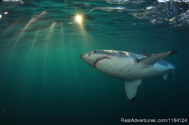 Shark Cage Diving in South Africa Kleinbaai, South Africa Wildlife & Safari Tours