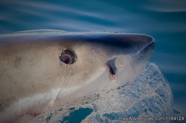 Great White Shark Close Up - Shark Cage Diving in South Africa