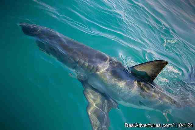 Shark Team (#4 of 4) - Shark Cage Diving