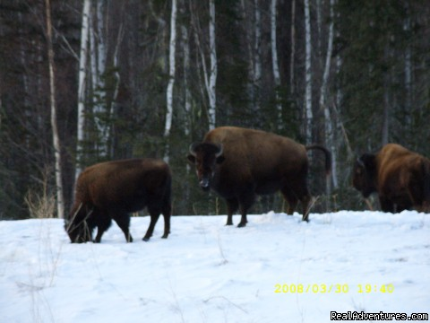 Wild Free Range Bison (#15 of 26) - World Class Waterfowl Hunting Alberta