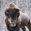 Wild Free Range Bison