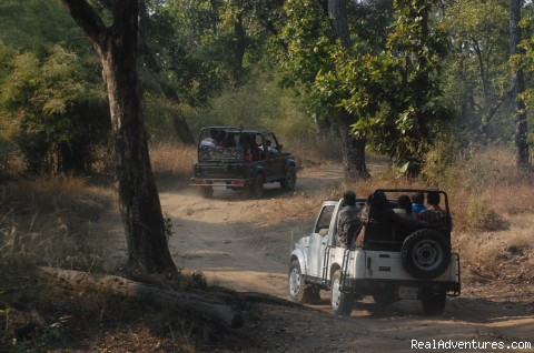 Jeep safari in national park - Mogli wildlife resort, Kanha and Bandhavgarh,India