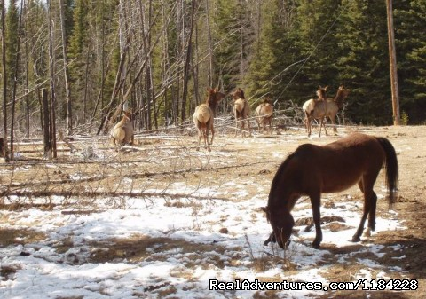 Rocky Mounatin Elk - Old Entrance Trail Rides near Jasper National Park