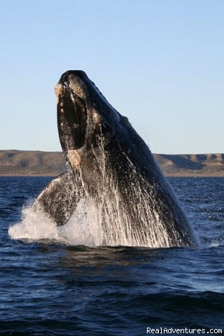 Whale watching the easy way Hermanus, South Africa Articles