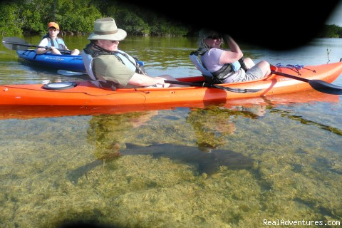 baby nurse shark inhabit the seagrass flats - National Wildlife Refuge Kayak & Boat Tours