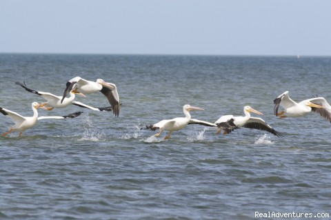 the flight of white pelicans is a symphony - National Wildlife Refuge Kayak & Boat Tours