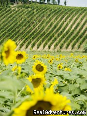 Sunflowers and Vines - typical local scenery - Vineyard retreat in heart of Piedmont, Italy