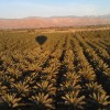 Fly Over Coachella Valley Date Palms