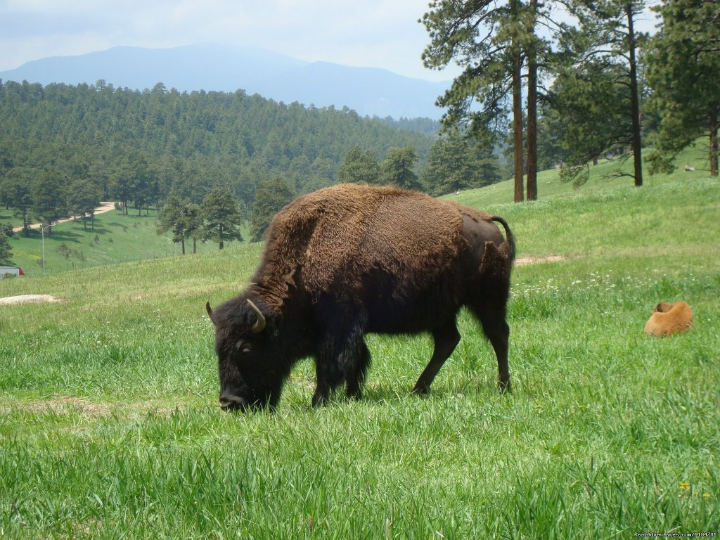 Do Not Miss Buffalo Herd Overlook On The Way To The Cabin | Image #20/24 | Mt Evans Cabin, Hot Springs & Historic Town