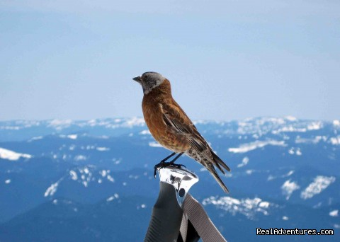 Grey-crowned Rosy-Finch on Mt. Rainier - Authentic NW Nature, Wildlife, Wine & Active tours