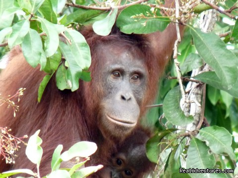 See Mysterious Borneo on a Jungle River Cruise Mother orangutan and baby on river island