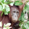 Relax on a Jungle River Journey in Borneo Mother orangutan and baby on river island