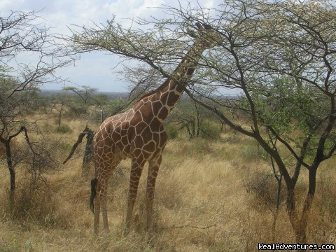 Reticulated Giraffe in Samburu Game Reserve in Northern keny - Birding Tours & Wildlife Photography in Kenya-Afri