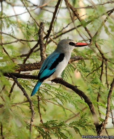 woodlandkingfisherlakebaringo - Birding Tours & Wildlife Photography in Kenya-Afri