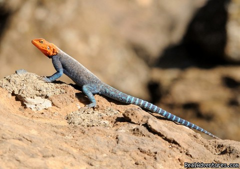 red headed Agama lizard - Birding Tours & Wildlife Photography in Kenya-Afri