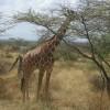 Birding Tours & Wildlife Photography in Kenya-Afri Reticulated Giraffe in Samburu Game Reserve in Northern keny