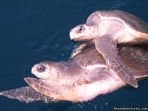 mating turtles are often spotted in season - Deep Blue Diving, Costa Rica, Playas del Coco