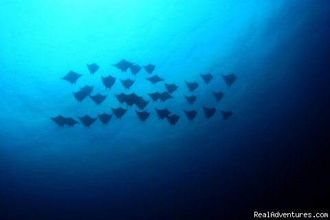 Devil rays flying at the Catalina Islands - Deep Blue Diving, Costa Rica, Playas del Coco