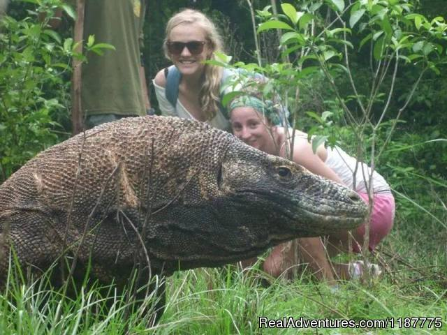 Komodo dragon the prehistorical animal - Flores Adventure Tours