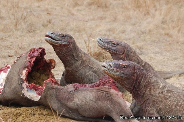 Komodo Dragon - Flores Adventure Tours