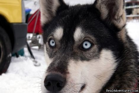 Gasthof zur Linde - Annual Sled Dog Race | Image #7/8 | Gasthof zur Linde ...your cosy Guesthouse in Dobel