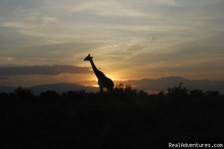 Giraffe at sunset, - Kenya safari tour operator for Nairobi and Mombasa