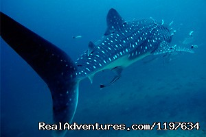 Whale Shark Diving In Krabi, Thailand - Scuba Diving In Krabi Thailand