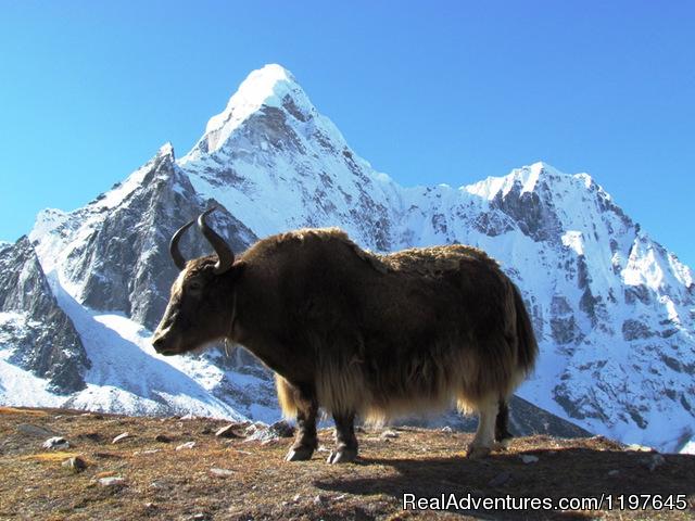 Trekking and Hiking in Nepal Yak & Mountain