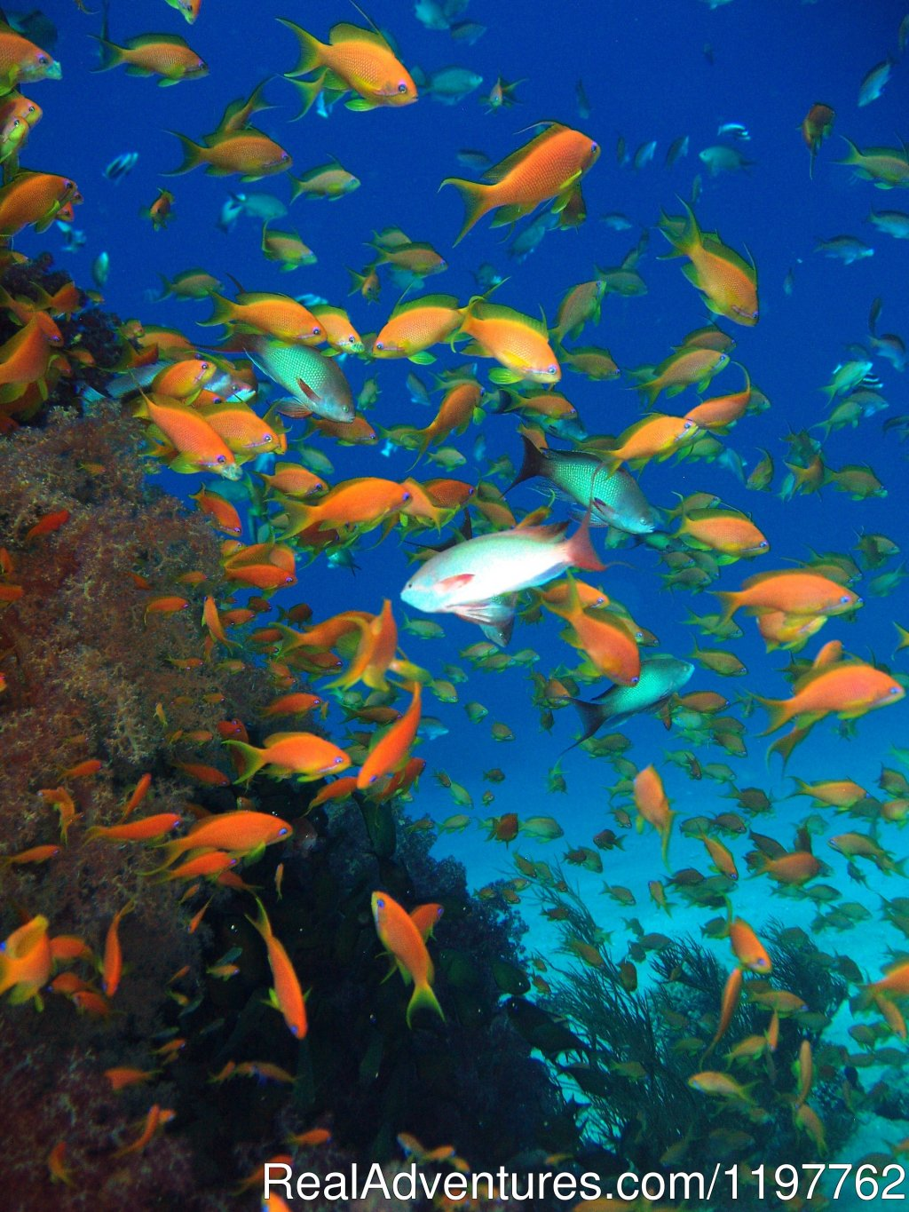 Pinnacle at Eel Garden | Image #12/22 | Red Sea Diving - With out the crowds