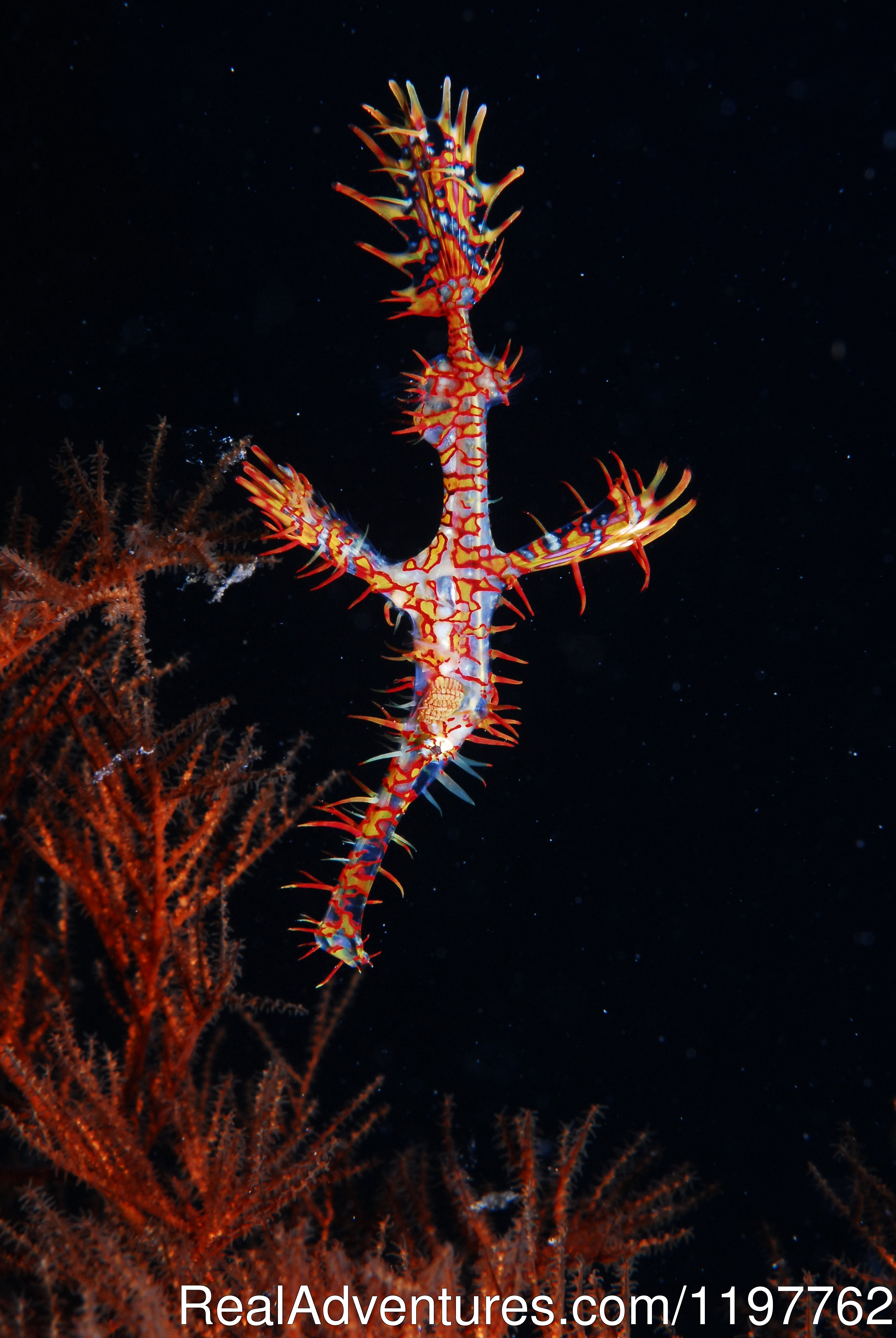 Ghost Pipefish | Image #12/23 | Red Sea Diving - With out the crowds