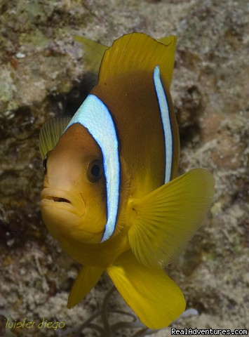 Clown Fish | Image #10/23 | Red Sea Diving - With out the crowds