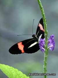 Costa Rica Butterfly - The Wonders of Costa Rica - Fully Customizable