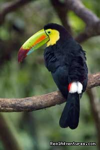 Costa Rica Toucan - The Wonders of Costa Rica - Fully Customizable