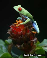 Costa Rica Red-eyed Tree Frog (#1 of 8) - The Wonders of Costa Rica - Fully Customizable