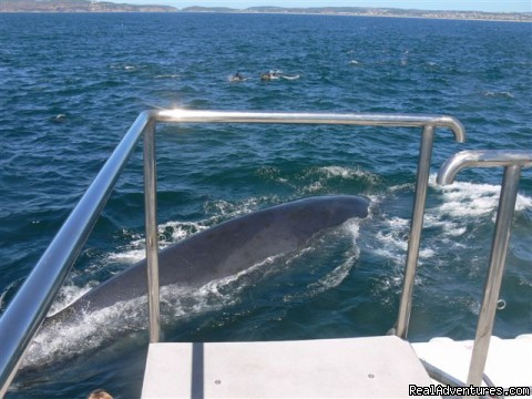 Brydes whale pays visit to our boat - Whale, Dolphin and Seal watching tours