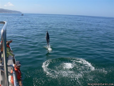 Bottlenose dolphin put on a show. - Whale, Dolphin and Seal watching tours