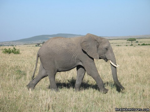 Elephants are Plentiful in Masai Mara Park (#3 of 11) - Safaris, Tours & Beach Holidays in East Africa