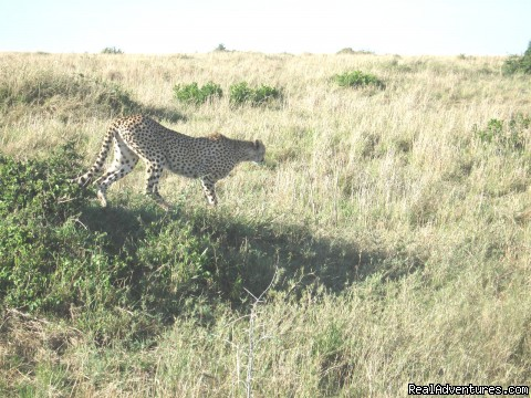 Cheetah Hunting Thompson Gazelles - Safaris, Tours & Beach Holidays in East Africa