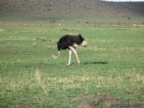 Can't Get Too Close to Ostrichs - Safaris, Tours & Beach Holidays in East Africa