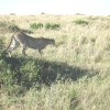 Cheetah Hunting Thompson Gazelles
