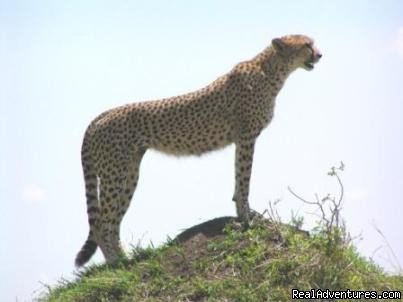 Cheeter | Image #5/9 | 14 Nights Safari in Kenya and Tanzania