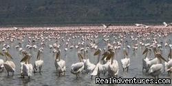 Pink Flamingoes in Lake Nakuru park - 14 Nights Safari in Kenya and Tanzania
