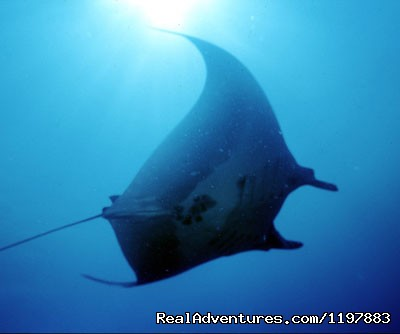 Manta Ray At Catalina Island Costa Rica - Scuba Diving In Costa Rica With Bill Beard