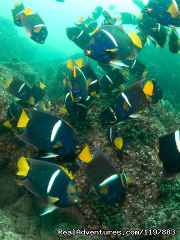 Kin Angle Fish Feeeding In Costa Rica - Scuba Diving In Costa Rica With Bill Beard